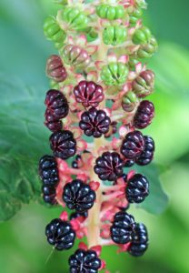 Свойства и польза растения лаконос (фитолакка)