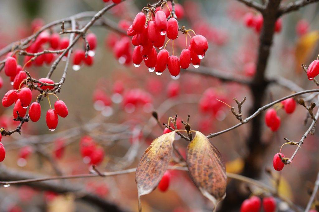Плоды кизила