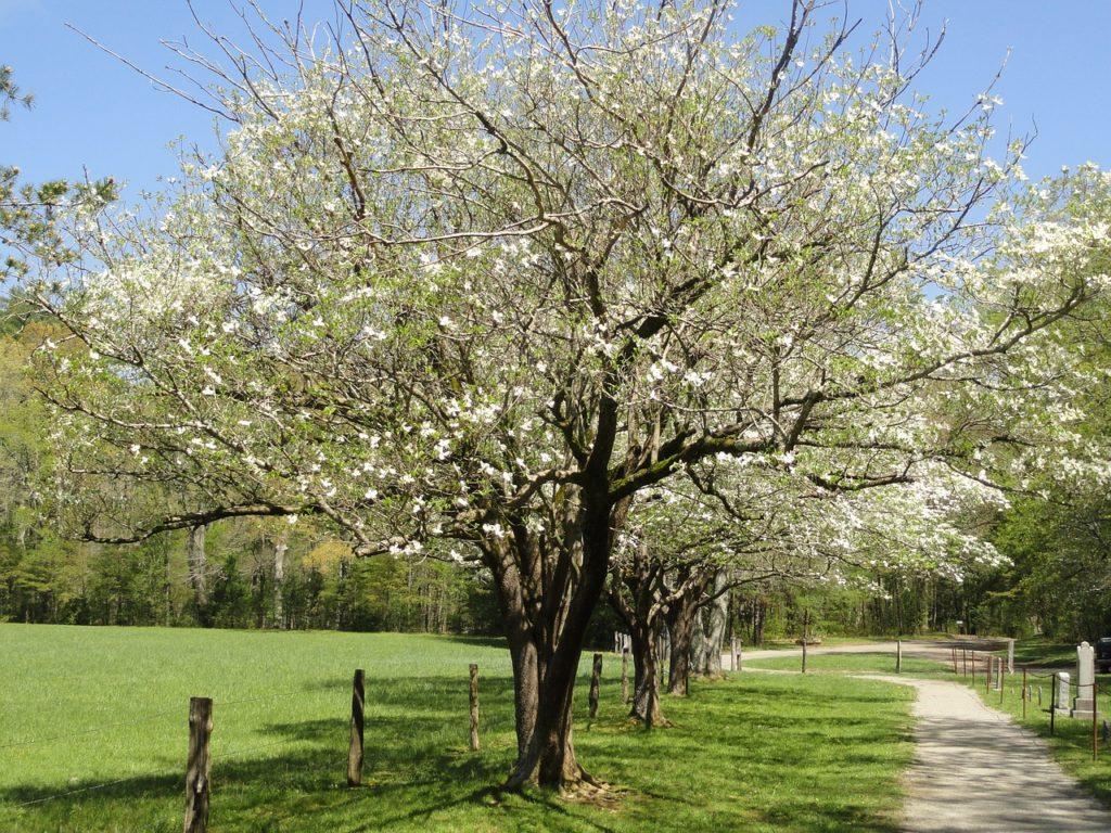 Листопадное дерево кизила