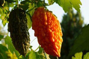 Момордика – тропический гость у нас дома