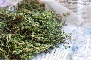 Чабрец (тимьян): полезные свойства и применение