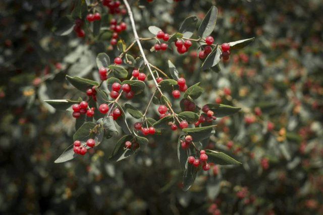 Волчья ягода – коварная красота