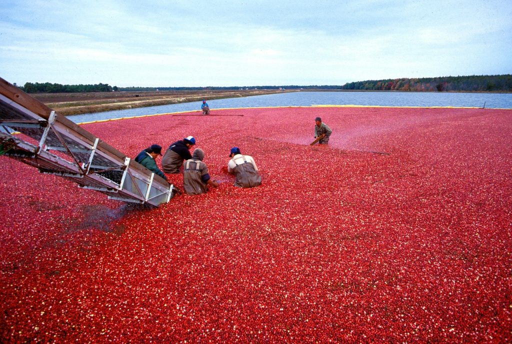 Клюква, вся польза и вред северной ягоды