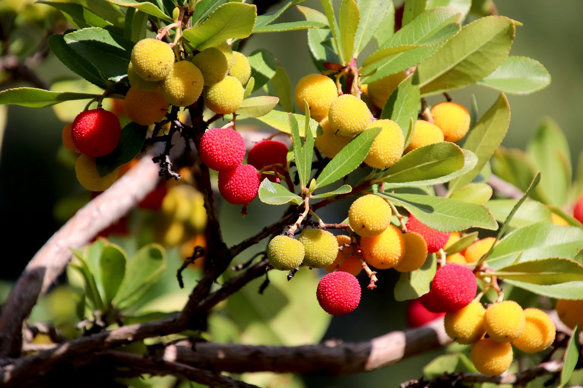 Какие полезные свойства скрывает в себе экзотический фрукт личи?