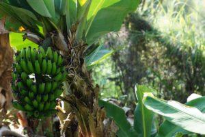 Банан – царь тропических фруктов, любимый всеми