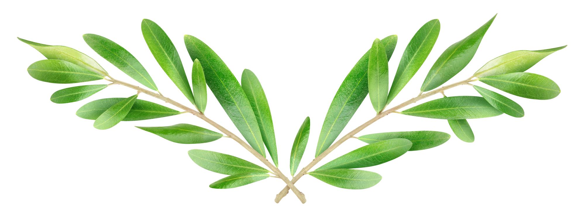 Оливковые ветви