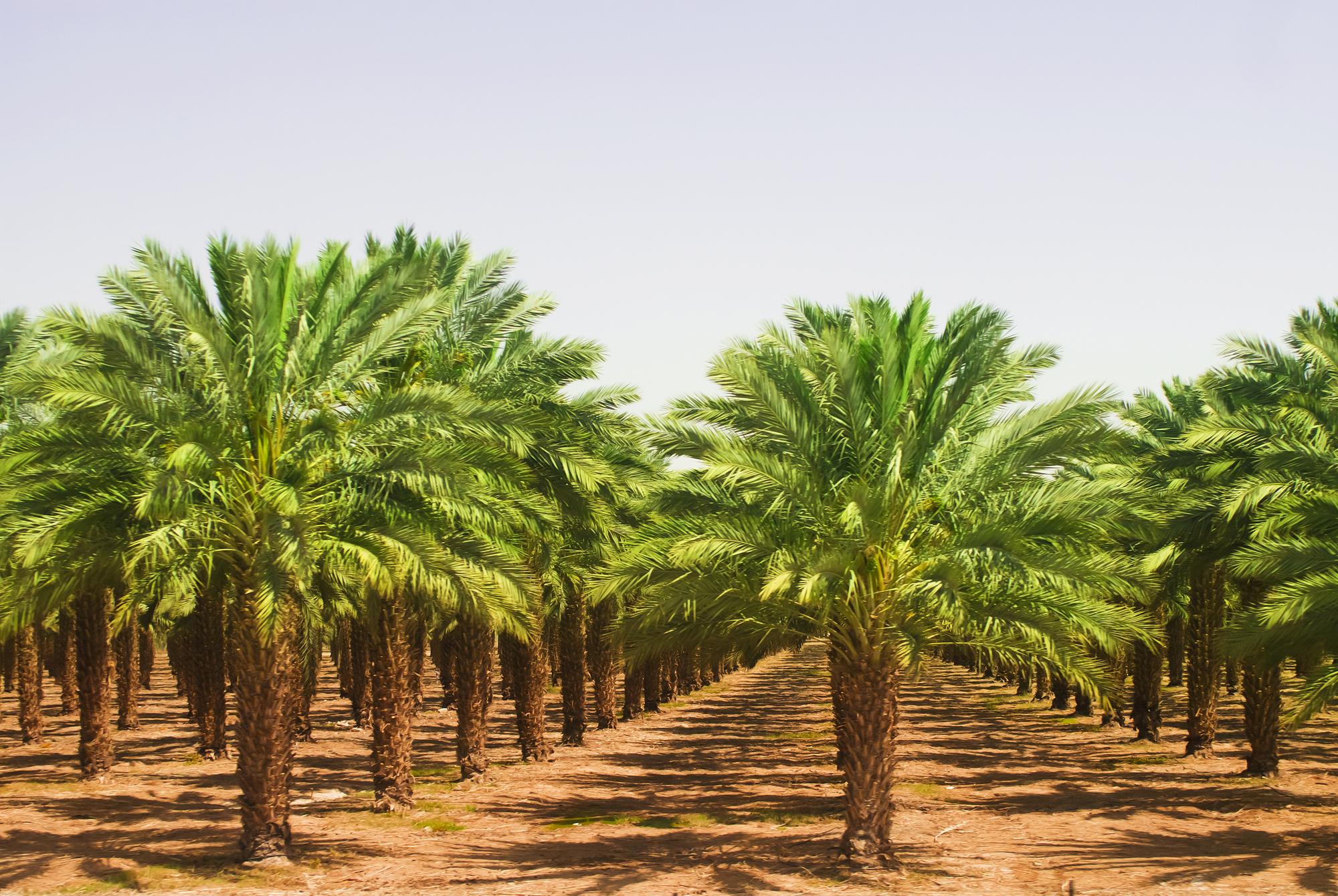 Вид на плантации пальмового масла