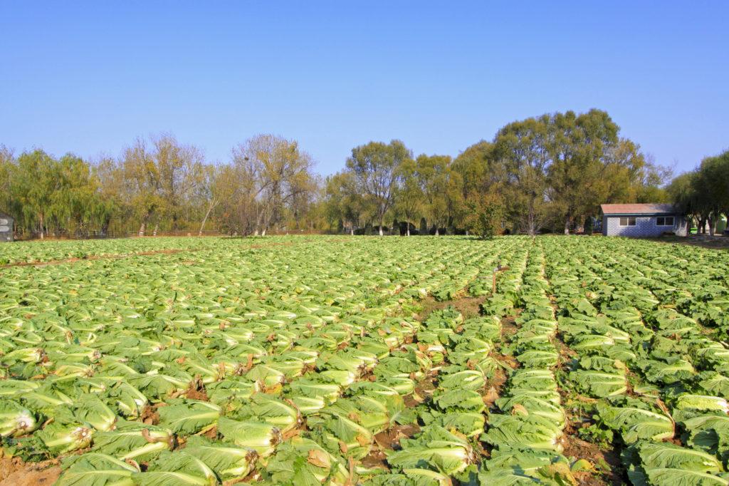 Урожай китайской капусты