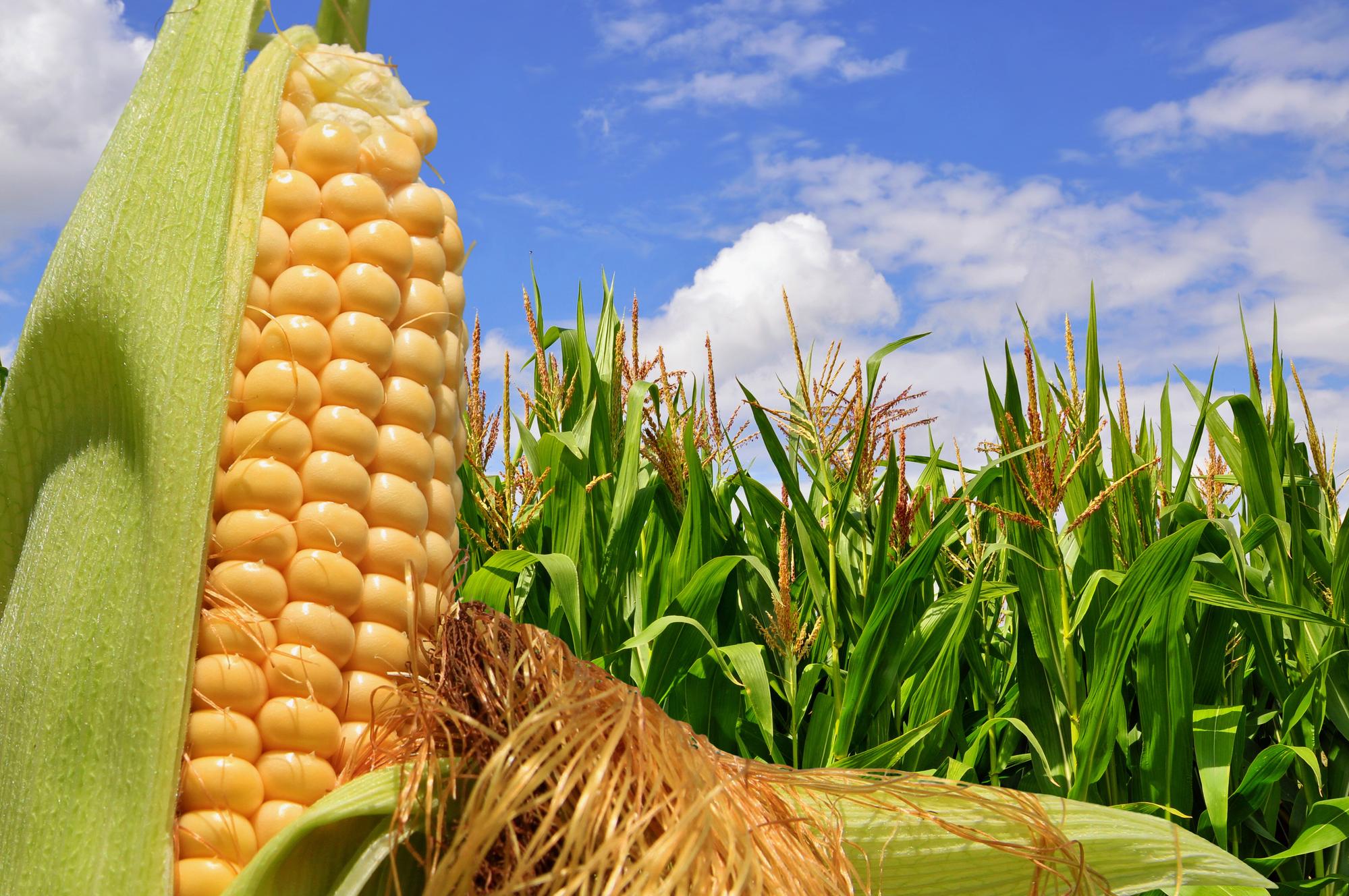 Кукуруза и её полезные свойства