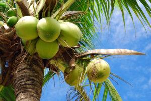 Кокосовое дерево